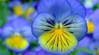 Mavi Menekşe Çiçeği Anlamı